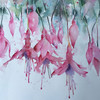 Fuchsia - by Heather Withers